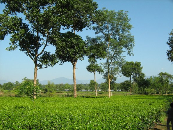 Name:  Tea estates2.jpg
