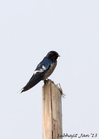 Name:  barn swallow.jpg Views: 2585 Size:  14.3 KB