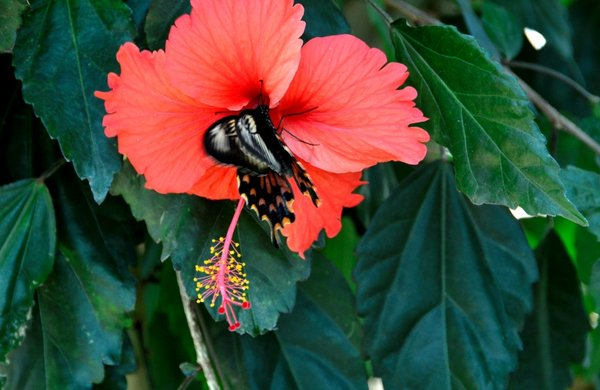 Hibiscus, Butterfly Park.jpg