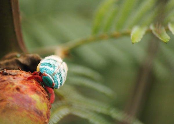 Name:  Eurybrachyid Planthopper.jpg Views: 272 Size:  29.2 KB