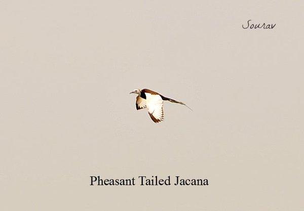 Name:  Jacana2.jpg Views: 864 Size:  10.8 KB