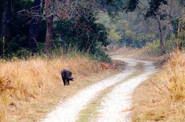 A wild Boar & a deer.jpg