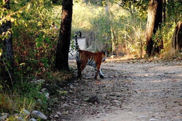 The tigress in BIJRANI.jpg