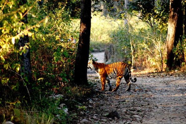 The tigress in BIJRANI 2.jpg