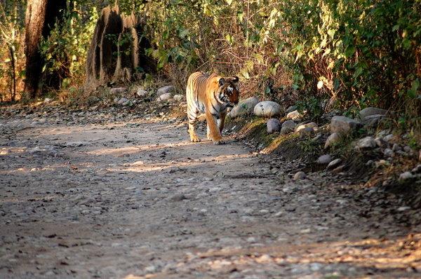 The tigress in BIJRANI 4.jpg
