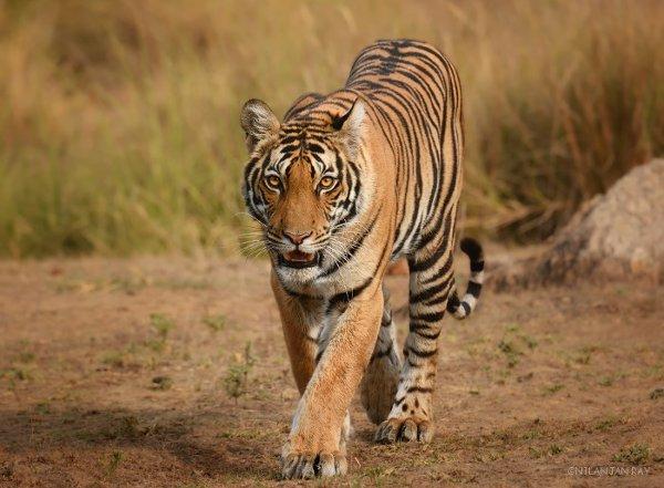 meadow_tigress_small.jpg