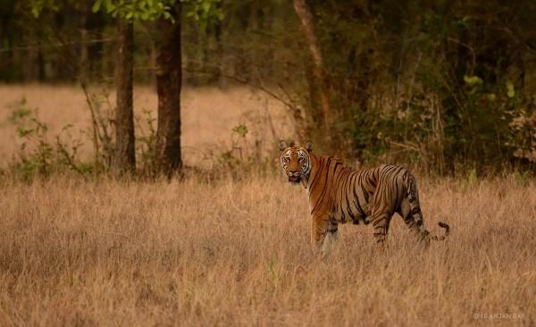 Name:  tadoba_tigress.jpg Views: 586 Size:  60.7 KB