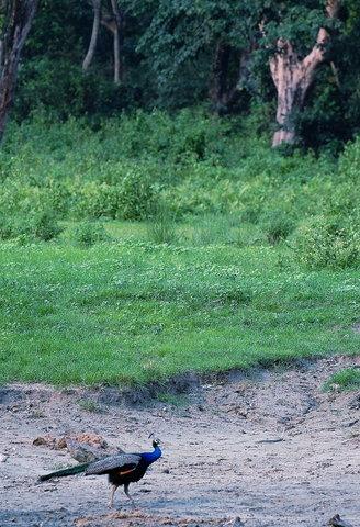 Name:  2 Peacock.jpg Views: 1170 Size:  61.3 KB