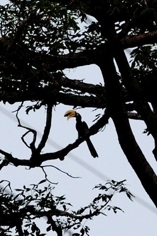 Name:  3 A pied Hornbill , Far away.jpg