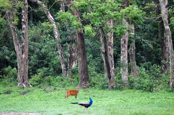 Name:  A Barking Deer with a Peacock.jpg