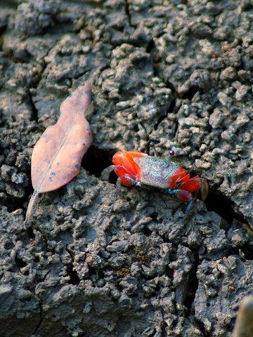 Name:  1 crab.jpg Views: 233 Size:  67.1 KB