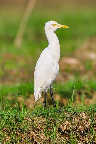 Name:  Egret.jpg Views: 241 Size:  54.2 KB
