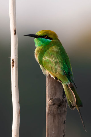 Name:  Bee-eater(1).jpg