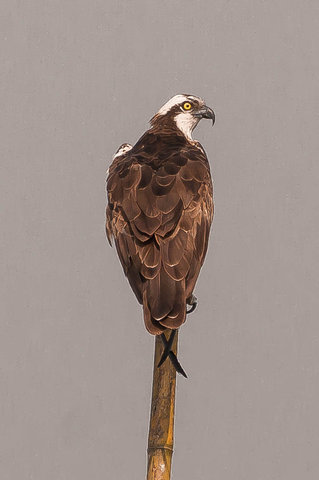 Name:  osprey.jpg Views: 228 Size:  21.9 KB