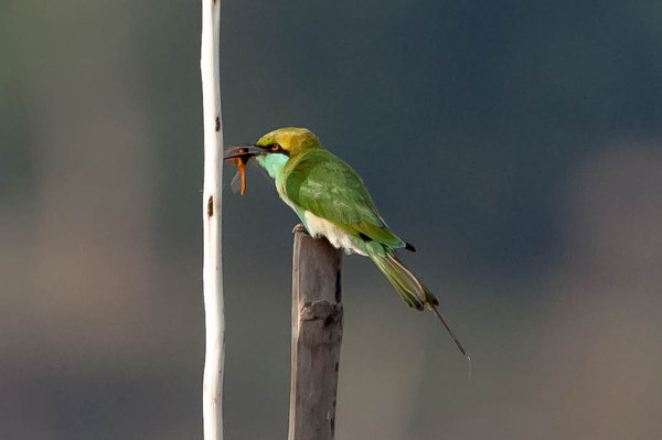 Name:  Bee-eater2.jpg
