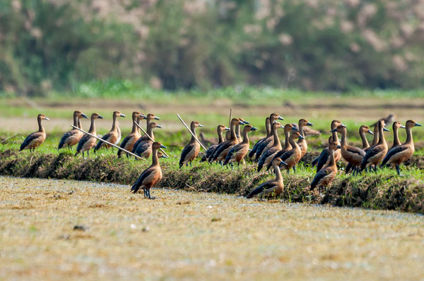Name:  Whistling Duck-Flock2.jpg