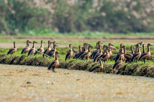 Name:  Whistling Duck-Flock2.jpg Views: 211 Size:  77.8 KB