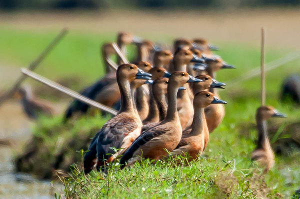 Name:  Whistling Duck-Flock.jpg