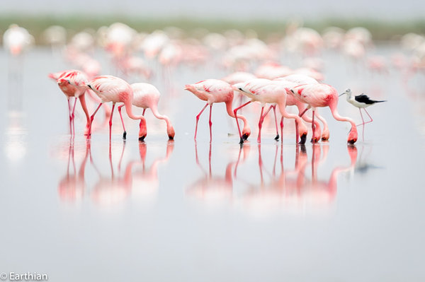 Name:  Flamingoes and a black wiged Stilt.jpg