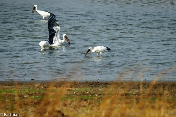 Name:  open billed storks.jpg Views: 128 Size:  66.9 KB