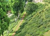 Walking through Happy valley tea Garden  by subhradip.  Tags: West Bengal, Darjeeling, tea, happy valley tea garden, garden, tea garden, walking.