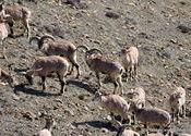 Adult male of blue sheep looking at my camera by vaibhav_arora.  Tags: kaza, male, camera.