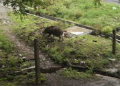 wild boar by salima.  Tags: ratlam mp, wild.
