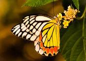 Plain Tiger by phir_milenge.  Tags: West Bengal, Kalyani, tiger.