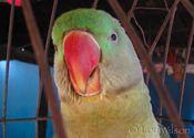 Dhaba Parrot by Lou Wilson.  Tags: Hyderabad, Puri, Andhra Pradesh, Odisha, Odisha, restaurant food, Food in India, parrot, food, dhaba.