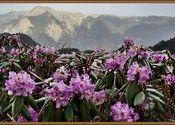 Himalayan pink rhododendrons at the Jalori Pass by snonymous.  Tags: Landscapes, jalori pass, jalori, rhododendrons.