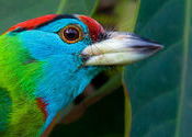 Blue Throated Barbet. by phir_milenge.  Tags: West Bengal, Kalyani, nadia, west bengal..