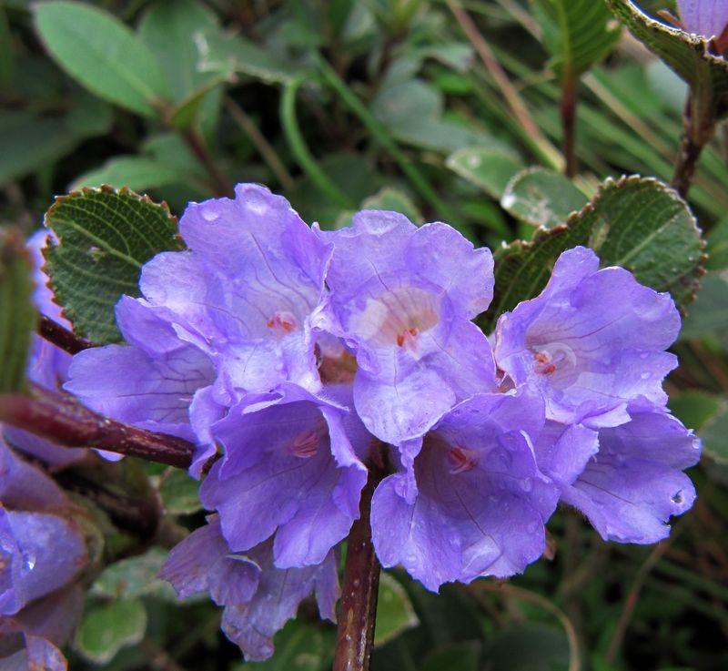 kurinji--nilgiris-wildflowers.jpg