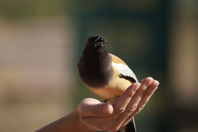 Feeding Sariska's Treepies