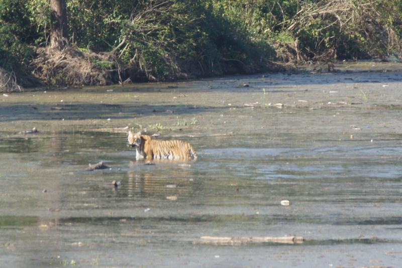Female tiger crossing river
