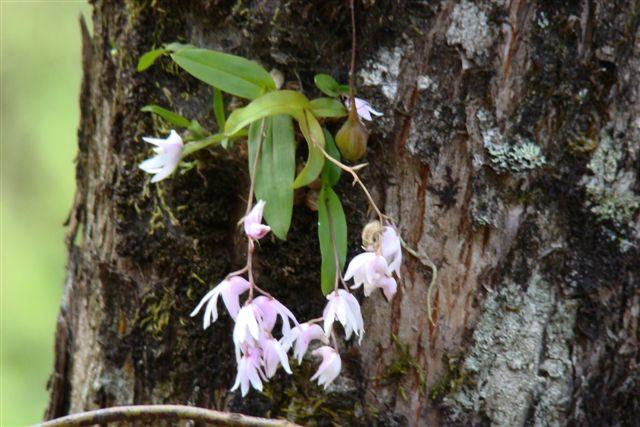 Delicate Little Wild Orchids Near Devikulam Munnar