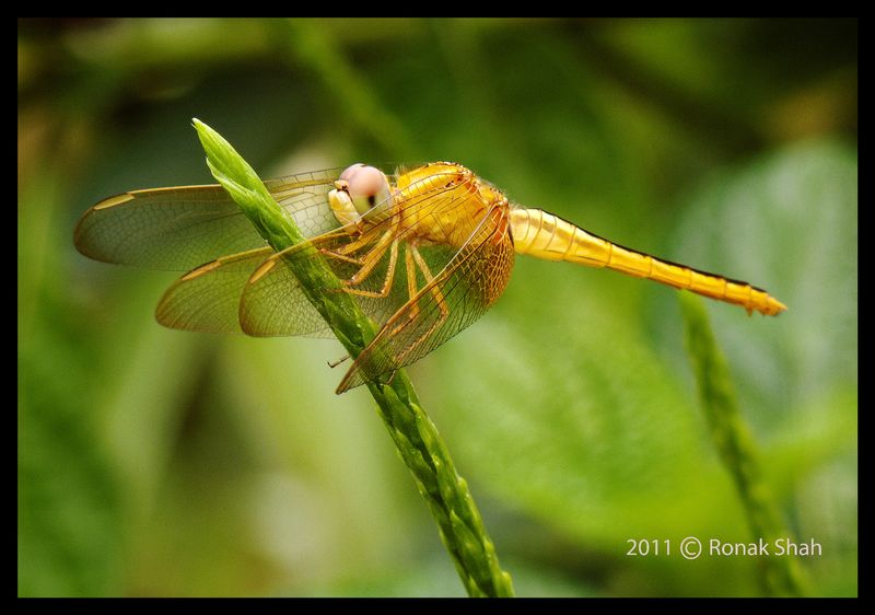 Dragonfly at Mahim Nature Park