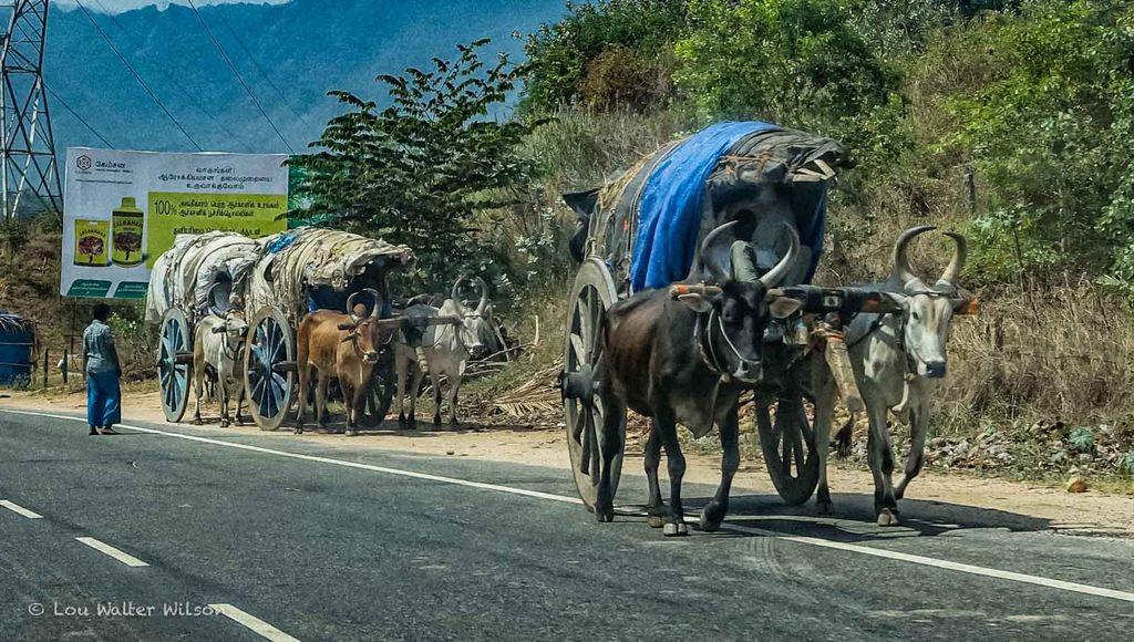 Line Of Bullock Carts