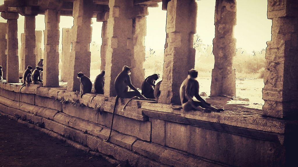 Hampi Monkeys
