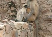 Langur family by dillichaat