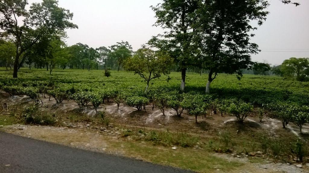 Gorubathan India  city pictures gallery : ... Tea Estate on way to Gorubathan India Travel Forum | IndiaMike.com