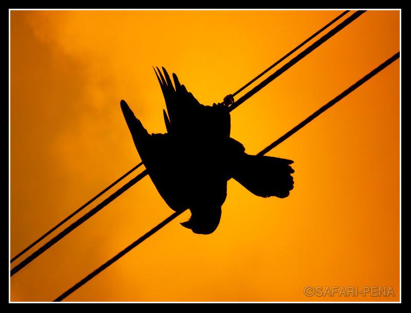 A dead crow
