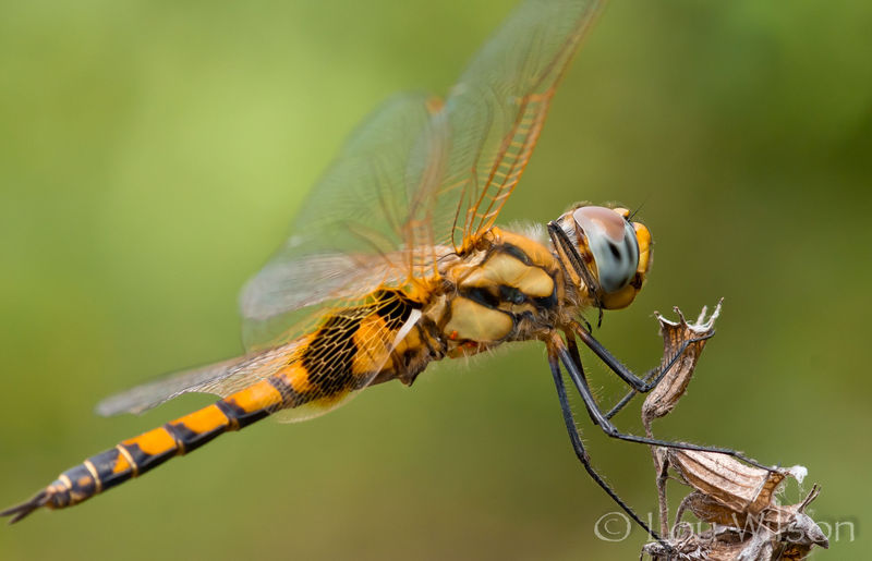Macro Dragonfly - In