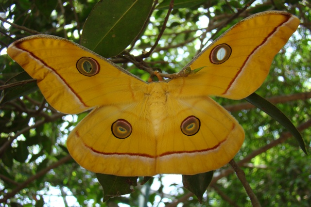 Large Yellow Tussar Silk Moth