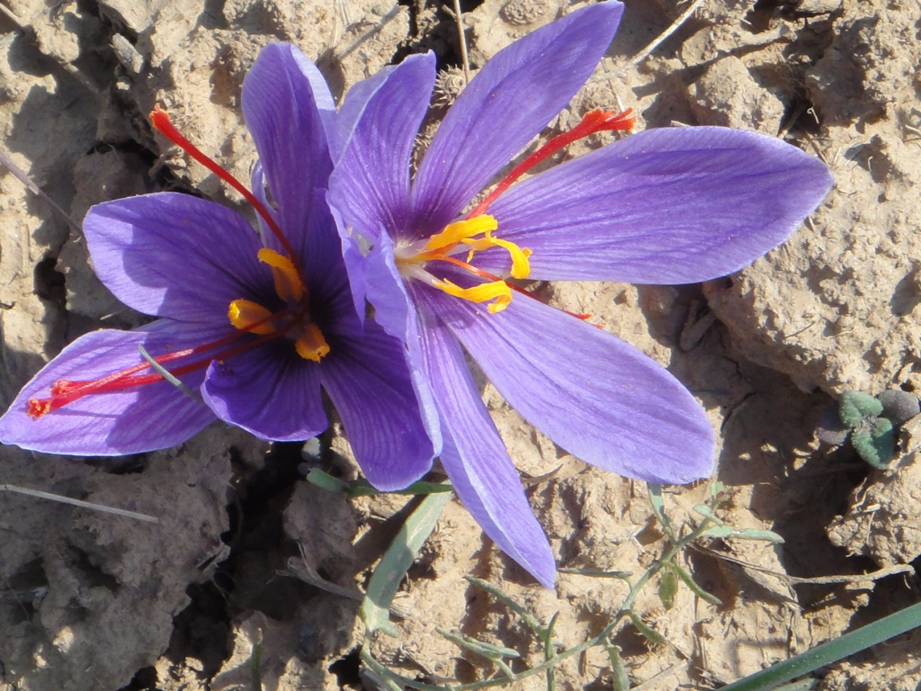 Saffron flowers in dry land India Travel Forum