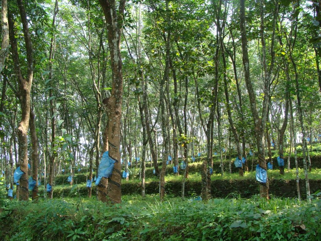 Rubber Plantation Near Kottayam India Travel Forum