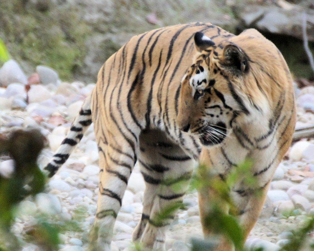 Tiger at Bijrani