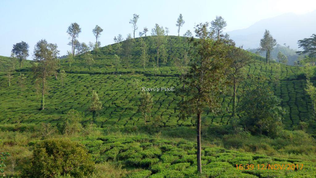 Tea Estate Meppadi region, Wayanad