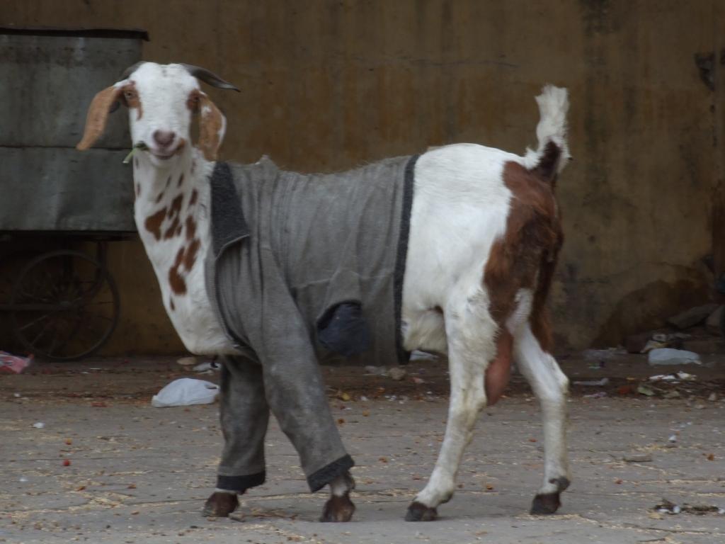 http://www.indiamike.com/files/images/65/36/01/cute-goat-in-coat.jpg