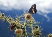 Butterfly before mountains by vaibhav_arora.  Tags: Himachal Pradesh, kullu and manali, butterfly, mountains.