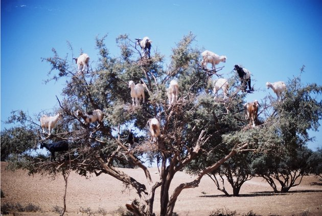 Tree climbing goats in Morocco looking for berries